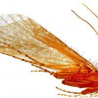 Insecta: Amphiesmenoptera