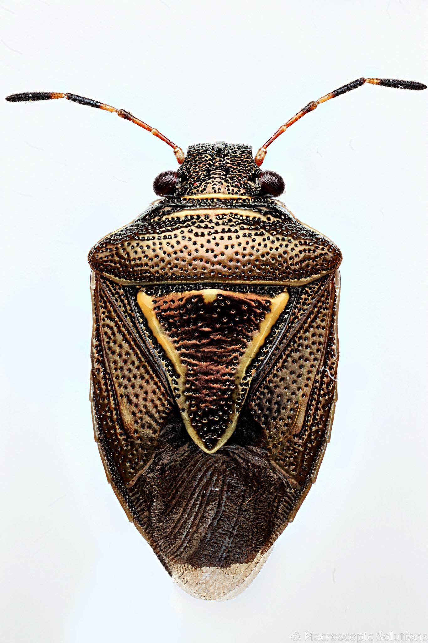Insecta: Hemiptera