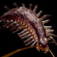 Arthropoda: Chilopoda