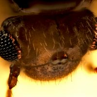 Insecta: Psocoptera