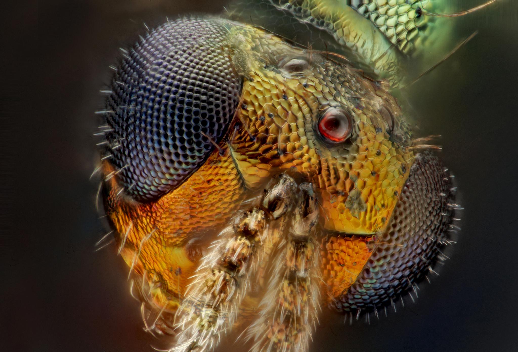 Insecta: Hymenoptera