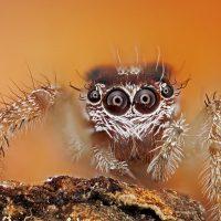 Arthropoda: Arachnida