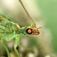 Insecta: Neuroptera