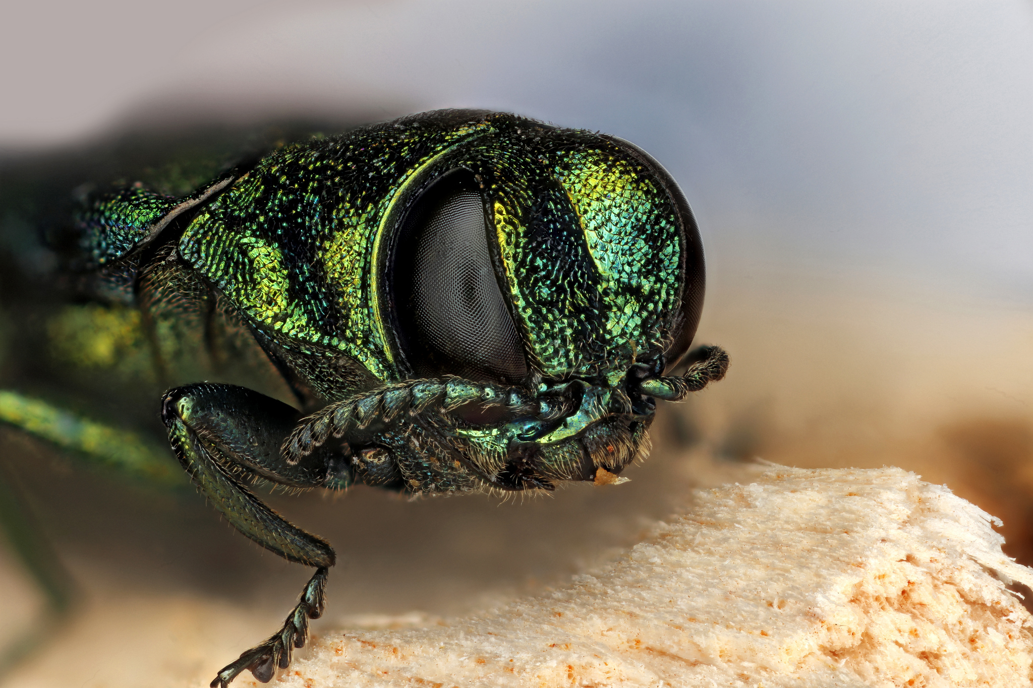 Insecta: Coleoptera