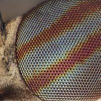 Insecta: Diptera