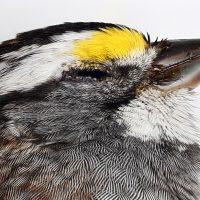 Chordata: Aves