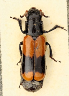 Cylindrodachrys cleroides dorsal