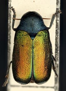 Ischiopachis ccribripennis dorsal