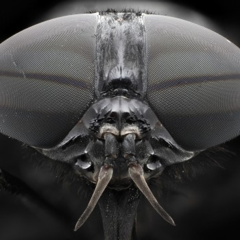 Black Horsefly-Eyes Compound eyes.