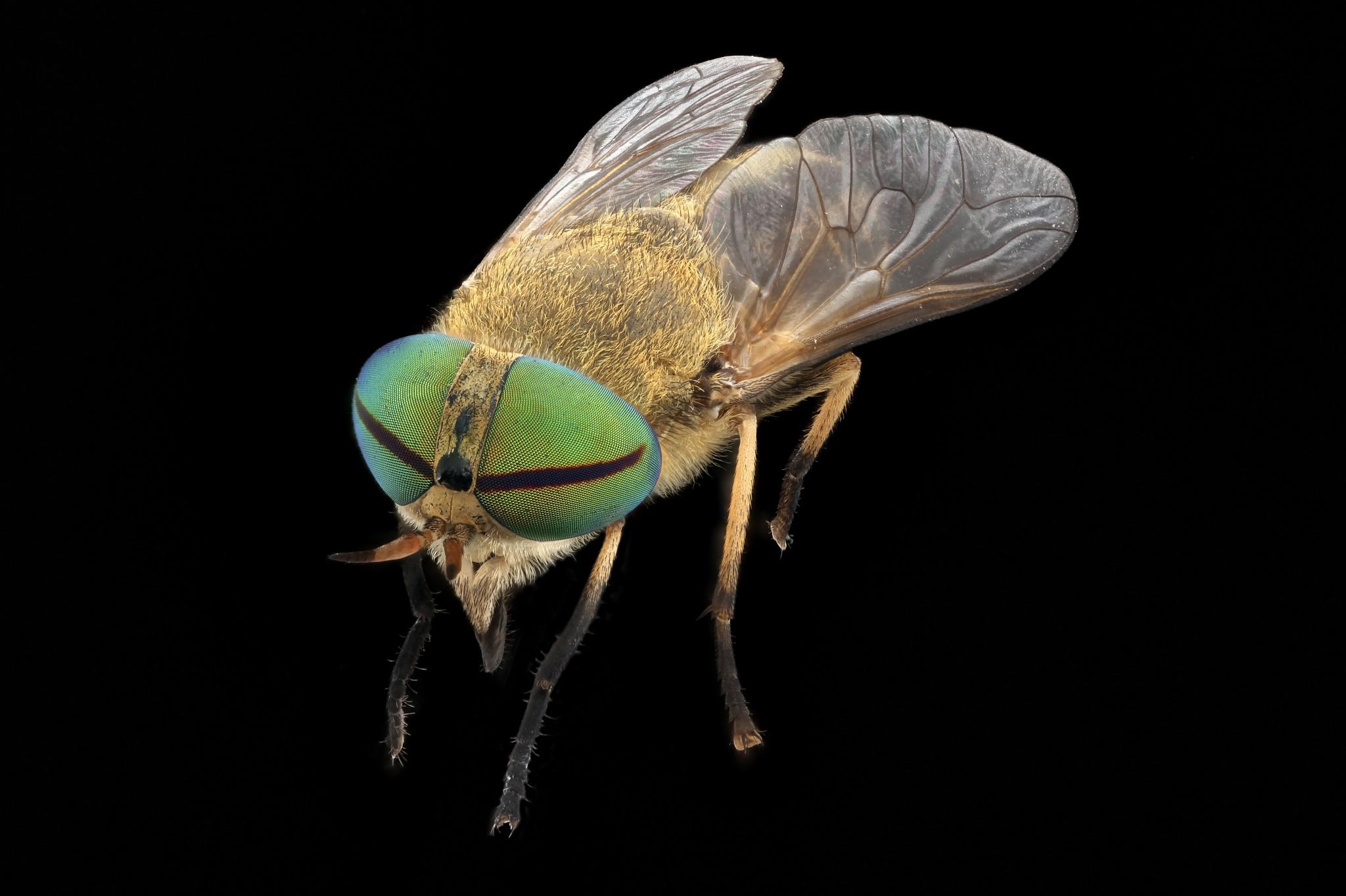 Horsefly - Tabanidae