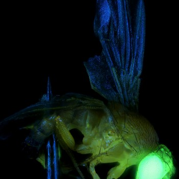 red Fruit Fly, Fluorescence, 10x 2