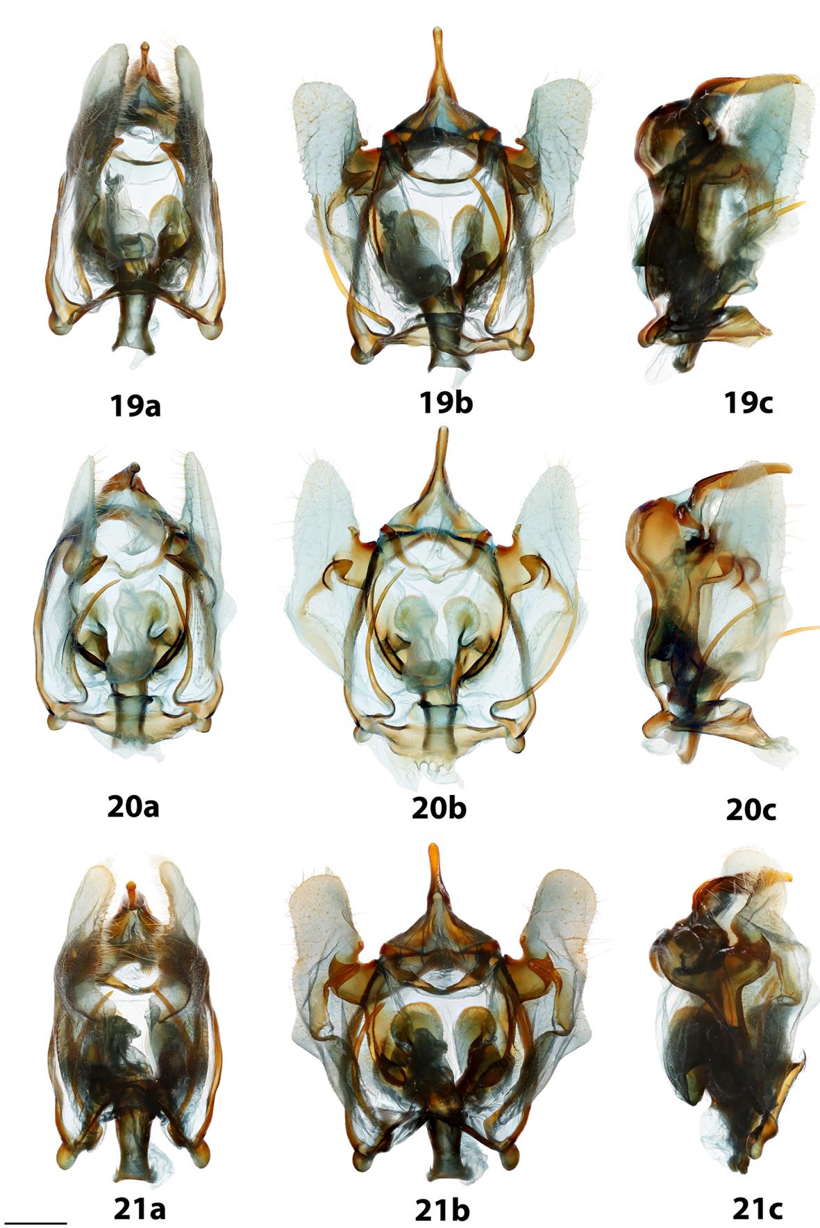 The Mimallonidae (Lepidoptera, Mimallonoidea) of the Caribbean B