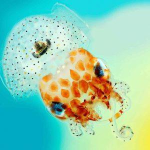 Mollusca: Cephalopoda