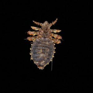 Insecta: Pterygota