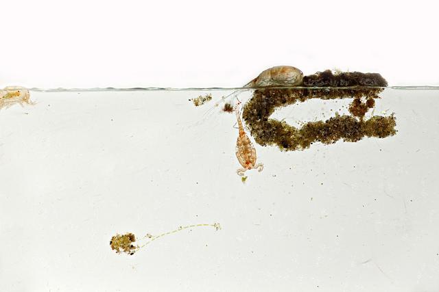 Arthropoda: Crustacea