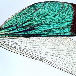 Insecta: Odonata