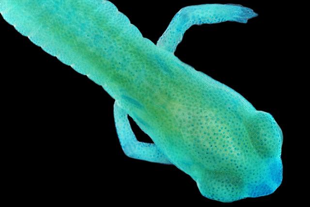Chordata: Amphibia